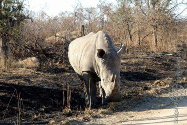 Bild: Nashorn im Kruger Nationalpark, Südafrika - Reiseblog von Frank Seidel