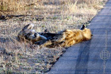 Bild: Fleckenhyäne im Kruger National Park, Südafrika - Reiseblog von Frank Seidel