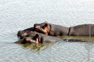 Bild: Nilpferde im Kruger National Park, Südafrika - Reiseblog von Frank Seidel