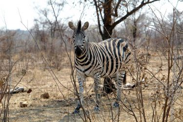 Bild: Zebra im Kruger National Park, Südafrika - Reiseblog von Frank Seidel