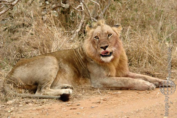 Bild: Löwe im Kruger National Park, Südafrika - Reiseblog von Frank Seidel