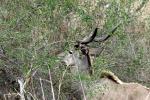weltreise_2006-09_südafrika_kruger_national_park_kudu_06.JPG