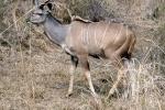 weltreise_2006-09_südafrika_kruger_national_park_kudu_10.JPG