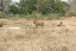 weltreise_2006-09_südafrika_kruger_national_park_löwe_19.jpg